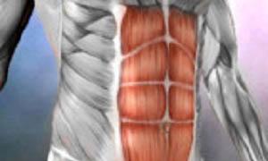 прямые мышцы живота